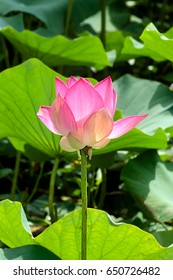 pink lotus flower are blooming