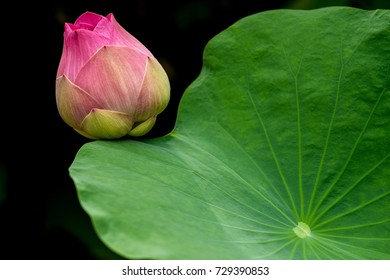 Pink lotus flower blooming in the nature.