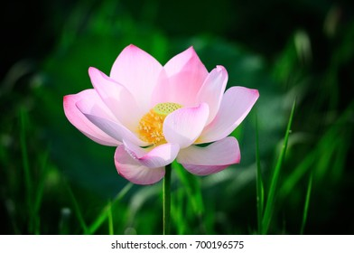 Pink lotus flower are blooming on green background.