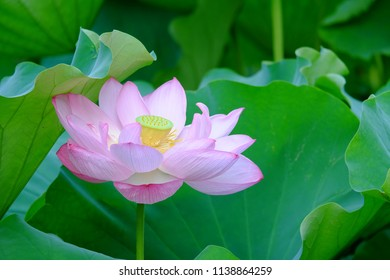 Pink lotus flower in blooming surrounded by its green leaves