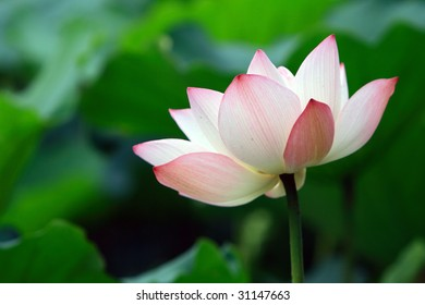 a pink Lotus flower in blossom against green foliage
