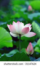 a pink Lotus flower and a bud