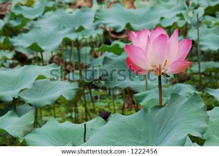 Pink Lotus Flower Buddhist Temple Malaysia Stock Photo Edit Now