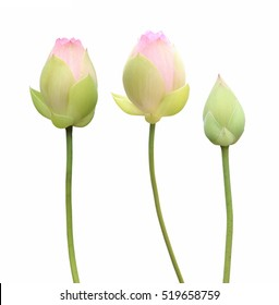 Pink lotus flower buds isolated on white background