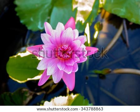 Pink lotus flower details texture on stock photo edit now pink lotus flower with details texture on its petals mightylinksfo