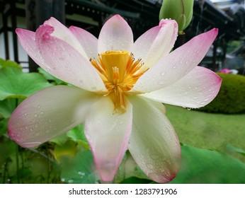 Pink lotus flower in full bloom in a temple garden in Japan