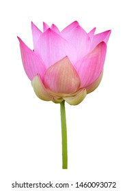 Pink lotus flower isolated with clipping paths on white background for wallpapers or graphic designs.Beautiful tropical flowers that symbolize Buddhism.