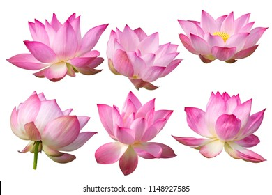 Pink Lotus flower Isolated On White Background.