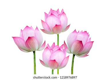 Pink lotus flower isolated on white background. File contains with clipping path.