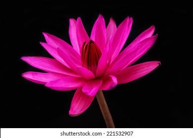 Pink lotus flower on a black background