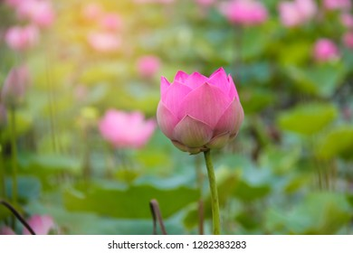 Pink lotus flower on green background.