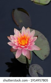 Pink lotus flower on lily pads floating on water