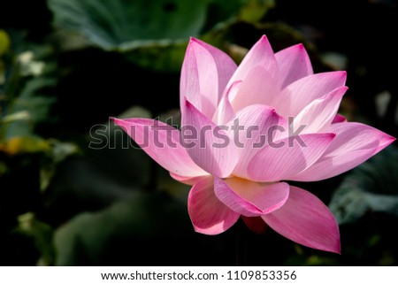Pink Lotus Flower Religious Spiritual World Stock Photo Edit Now