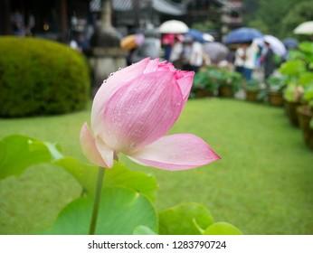 Pink lotus flower starting to bloom
