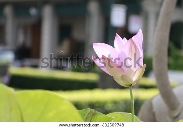 pink lotus flower in the temple