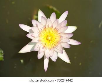 Pink Lotus flower in Thailand