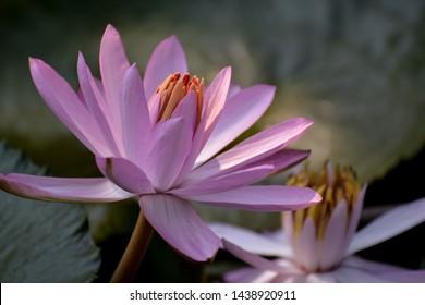 Pink Lotus flower (Waterlily) bloom.