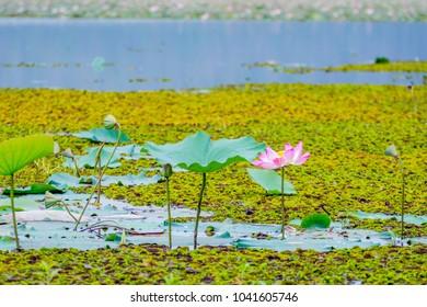 Pink lotus flowers blooming in the lake, Battambang, Cambodia