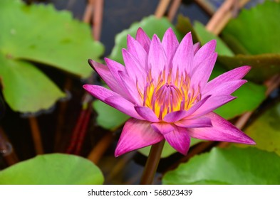 pink lotus flowers nature in background