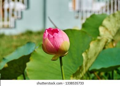 Pink lotus flowers on side of road in Georgetown, Guyana