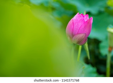 Pink lotus flowers with a sunset in the sun