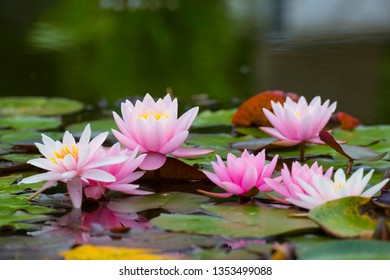 Pink lotus flowers, water lilies  close-up on water surface, macro, selective focus, blurred green leaf background. Floral background. Aquatic plants