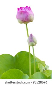 pink lotus with green leaf