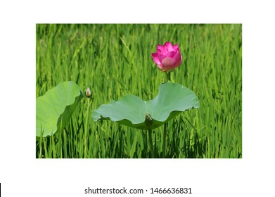 Pink lotus: High quality lotus image. The image of a beautiful lotus in the morning. Hoa sen vietnam images