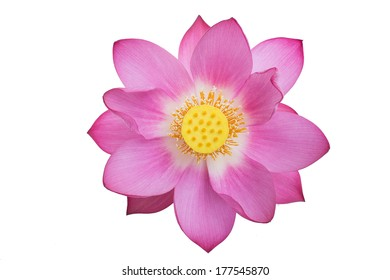 pink lotus isolated white background