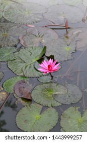 A Pink Lotus on the green lake
