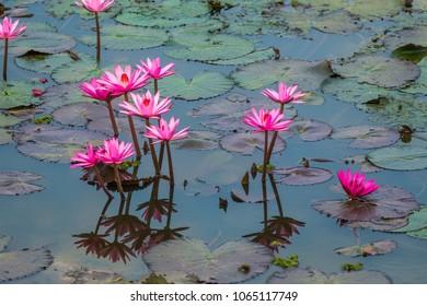 pink lotus on the lake.