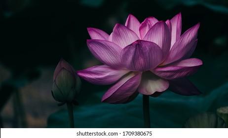 Pink lotus on the pond.