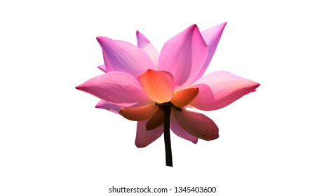 Lotus Flower White Background Images Stock Photos Vectors