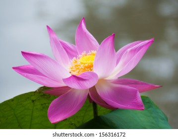 Pink lotus in the park