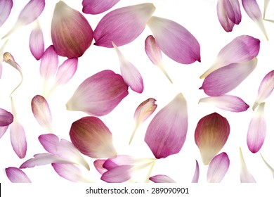 pink lotus petals isolated on white background