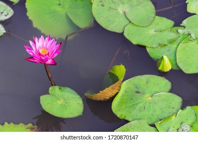 Pink lotus in the pond beautiful