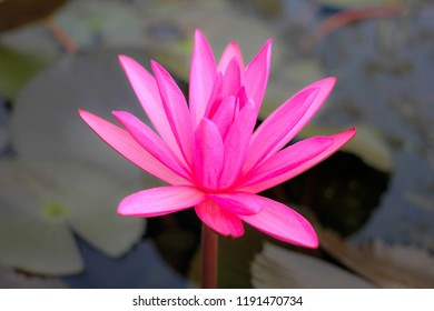 pink lotus in the pond, Beautiful nature.