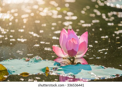 pink lotus in the pond , sunset
