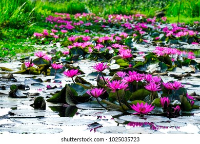 pink lotus in a shallow pond