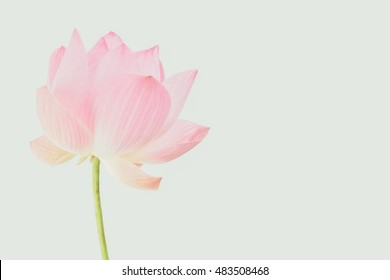 pink lotus in soft color style for background