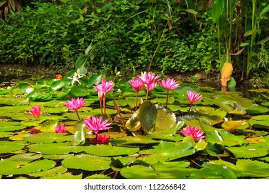Pink lotus from Thailand