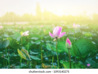 The pink lotus that is above the water in the pond and has a lotus leaf in the morning.