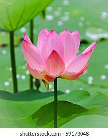 Pink lotus, water flower