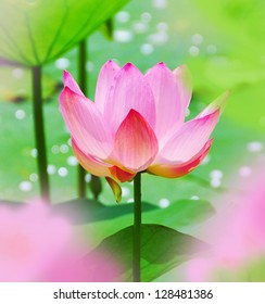 Pink lotus, water flower, water lilly, one big lotus in pond, petals and leaves, macro summer scene, China