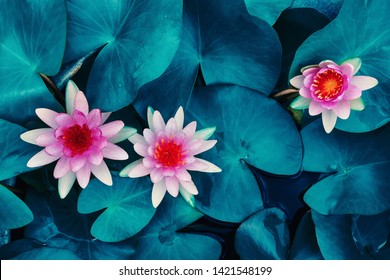 pink lotus water lily blooming on water surface and dark blue leaves toned, purity nature background, aquatic plant, symbol of buddhism.