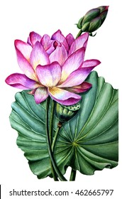 Big lotus flower images stock photos vectors shutterstock pink lotus watercolor painting exotic and tender hand painting flower big leaves and bud mightylinksfo Image collections