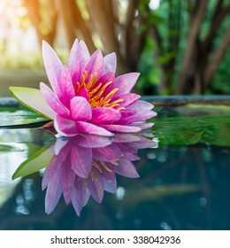 pink lotus or waterlily in pond