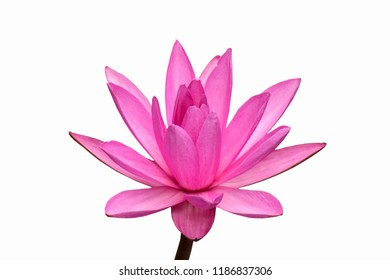 Pink Lotus with white background