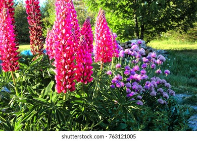 Pink Lupins and purple chives blooming in a sunny garden in June