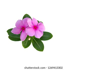 pink madagasca on white background